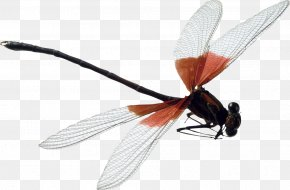 Dragonfly - Dragonfly Insect PNG