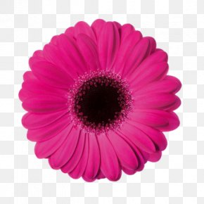 Flower - Common Daisy Flower Stock Photography Clip Art PNG