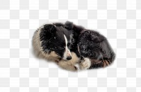 The Dog Dog In The Snow - Border Collie Australian Shepherd Puppy Dog Breed Companion Dog PNG