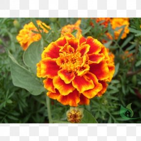 Garden Center - Mexican Marigold Flower Seed Plant Dahlia PNG