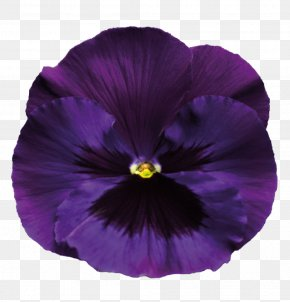 Violet Transparent Background - Pansy Violet Purple PNG