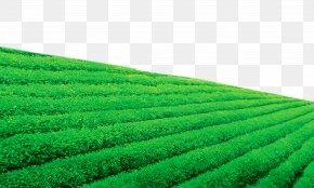 Tea Garden - Darjeeling Tea Tea Garden Wallpaper PNG