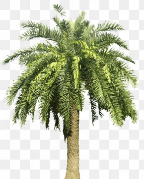 Date Palm - Arecaceae Canary Island Date Palm Tree PNG