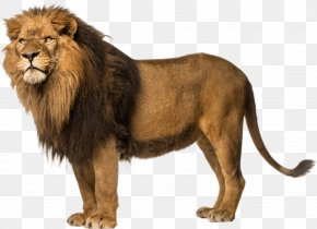 Lion Free Download - Lion Wallpaper PNG