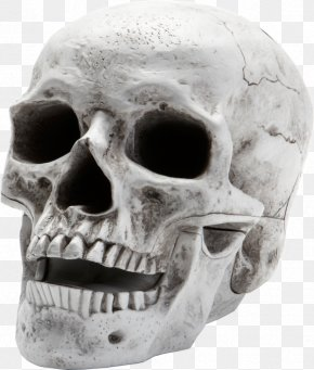 Skull - Skull Human Skeleton Homo Sapiens PNG