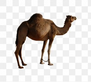 Mother Camel Single Peak - Bactrian Camel Dromedary Icon PNG
