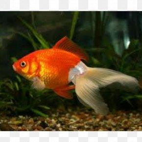Goldfish - Fantail Oranda Ryukin Comet Black Telescope PNG