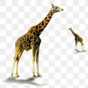 Giraffe Giraffidae Wildlife - Northern Giraffe Image Psd Lion PNG