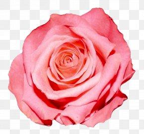 Rose - Rose Flower PNG