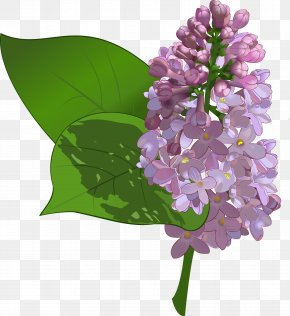 Lilac - Common Lilac Flower Clip Art PNG
