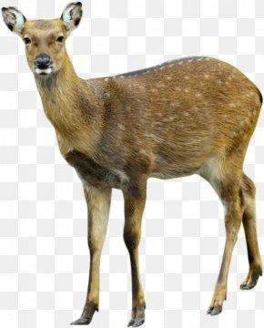 Deer Image - Deer Moose PNG