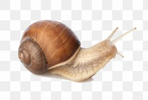 Snail - Sea Snail Gastropods PNG
