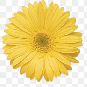 Flower - Transvaal Daisy Flower Common Daisy Yellow Stock Photography PNG