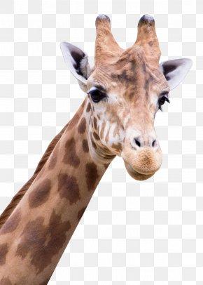 Giraffe - Giraffe Arabic Alphabet PNG