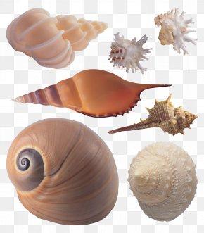 Seashell - Seashell Sea Snail Conchology PNG