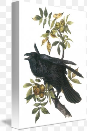 Common Raven - American Crow The Birds Of America Common Raven National Audubon Society PNG