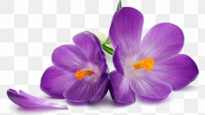 Crocus Transparent Image - Purple Flower Stock Photography Wallpaper PNG