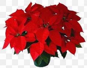 Cut Flowers Impatiens - Flower Red Plant Poinsettia Petal PNG