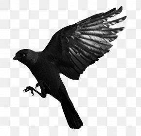 Raven Flying Transparent - Bird Common Raven Western Jackdaw PNG