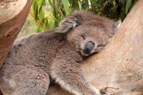 Koala - Koala Sleep Desktop Wallpaper Gum Trees Cuteness PNG
