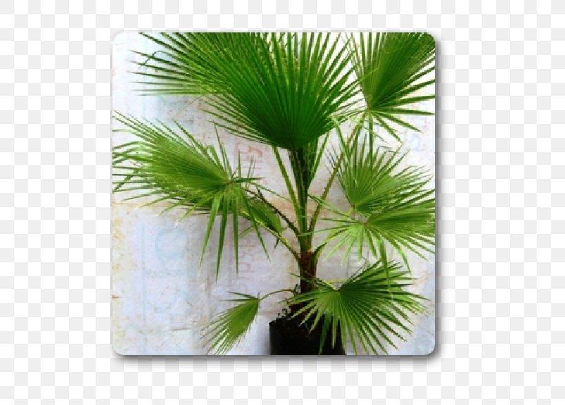 Arecaceae Plant Areca Palm Tree Washingtonia, PNG, 500x588px, Arecaceae, Areca Palm, Arecales, Borassus Flabellifer, Coconut Download Free