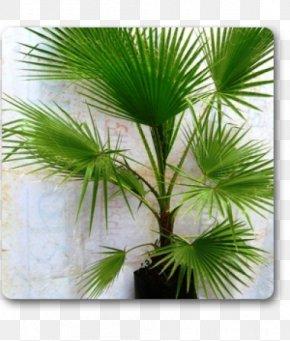 Wood Table - Arecaceae Plant Areca Palm Tree Washingtonia PNG