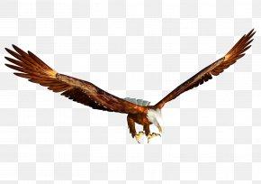 Eagle Image, Free Download - Bald Eagle Hawk Beak Fauna PNG