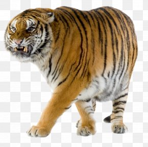 Tiger - Siberian Tiger Felidae Bengal Tiger Cheetah Wildlife PNG