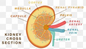 Cross Functional Team - Anatomy Physiology Kidney Human Body Nephron PNG