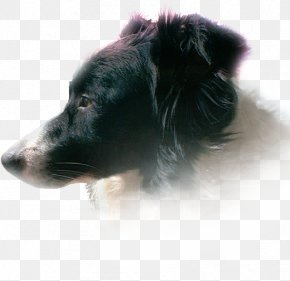 Bordercollie - Dog Breed Shetland Sheepdog Border Collie Rough Collie Puppy PNG
