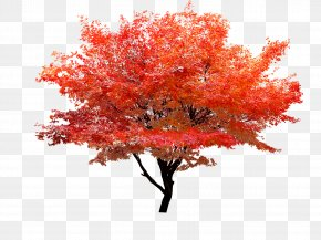 Red Maple - Red Maple Autumn Leaf Color Tree PNG