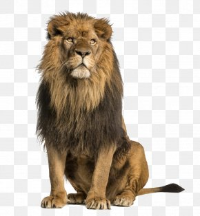 Lion - Lion Stock Photography Royalty-free PNG