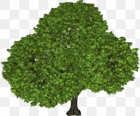 Tree Image - Tree Shrub Leaf Evergreen PNG