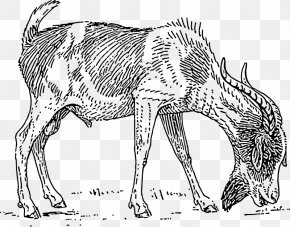 Goat Eat - Anglo-Nubian Goat Boer Goat Pygmy Goat Black Bengal Goat Drawing PNG