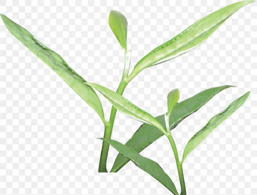 Tea Culture Camellia Sinensis Tea Garden, PNG, 1679x1275px, Tea, Body Shop, Camellia Sinensis, Grass, Grass Family Download Free