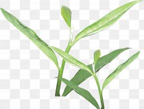 Tea,tea Culture - Tea Culture Camellia Sinensis Tea Garden PNG