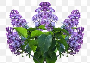 Flower - Common Lilac Flower Shrub Garden PNG