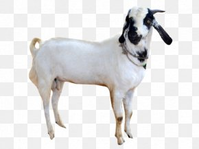 Goat - Goat Sheep Cattle Snout PNG