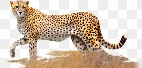Cheetah - Cheetah Leopard Jaguar Cat Terrestrial Animal PNG