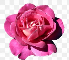 Pink Rose Clipart - Pink Rose PNG
