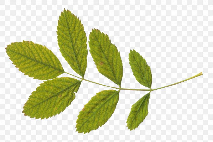 Green Tea Leaf Png 1600x1067px Green Tea Dots Per Inch Green Herb Herbal Download Free