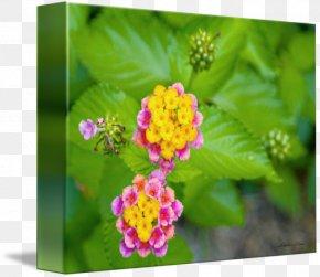 Watercolor Confetti - Lantana Camara Annual Plant Lantanas PNG