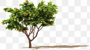 Orange Fruit Tree - Fruit Tree Orange Branch PNG