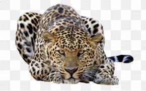 Leopard - Amur Leopard Javan Leopard Felidae Wallpaper PNG