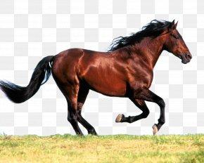 Horse - Arabian Horse American Paint Horse American Quarter Horse Standing Horse Mare PNG