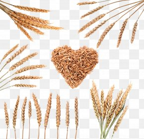 Wheat Grain Image - Rice Download Cereal Wheat PNG
