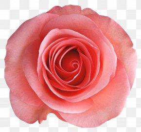 Transparent Rose Picture - Rosa Chinensis Garden Roses Centifolia Roses Flower PNG