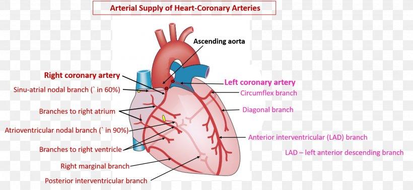 Coronary Circulation Coronary Arteries Heart Right ...