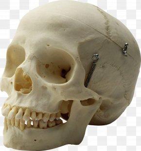 Calavera - Human Skull Homo Sapiens Skeleton Head PNG