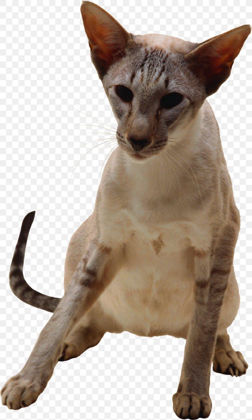 Oriental Shorthair Javanese Cat Peterbald German Rex